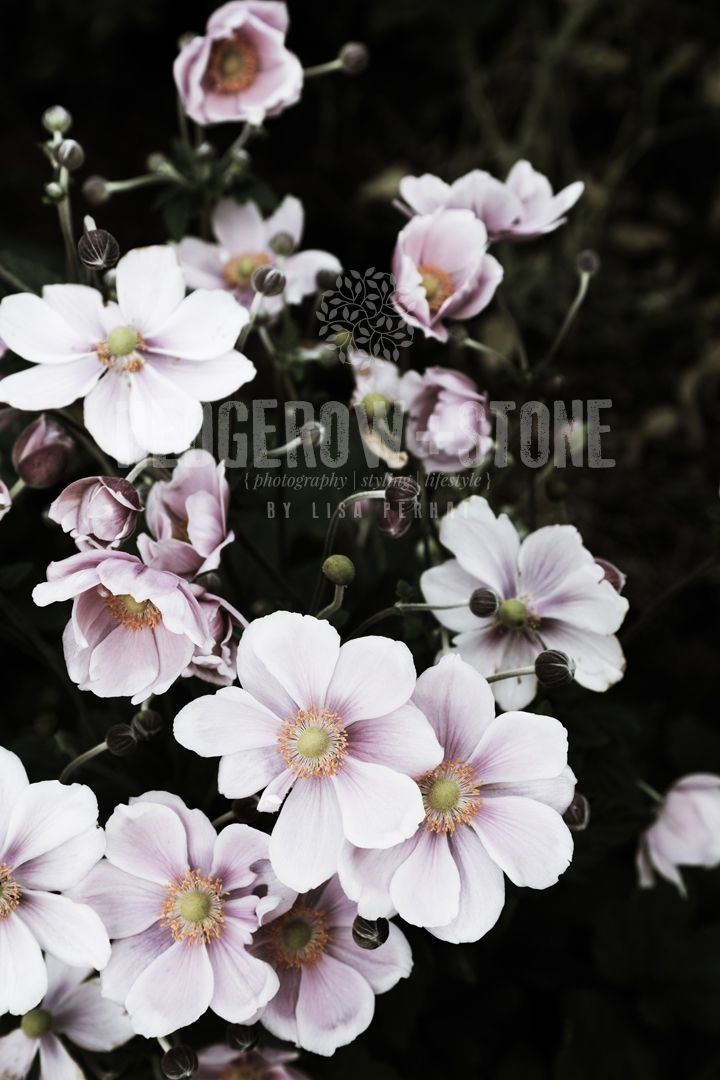 JAPANESE WINDFLOWERS  Fine Art Photographic Print via Lisa Perhat | Photography | Hedgerow+Stone. Click on the image to see more!