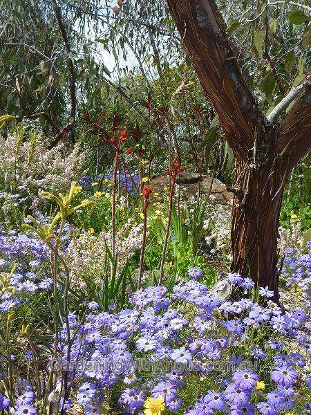 (brachyscome iberidifolia) Swan River Daisy & wildflowers. Beautiful Perth W.A.