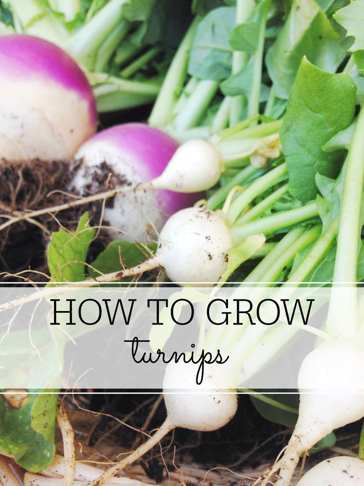 How To Grow Turnips: The easiest vegetable for your garden - Farm & Pretty