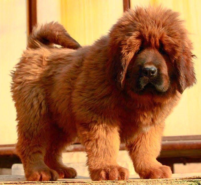 Brown Tibetan Mastiff Tibetan mastiff dog lovers in
