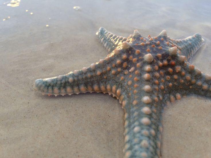 australian starfish