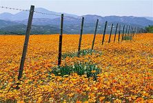Namaqualand in spring - Northern Cape - South Africa. #flowers #spring…