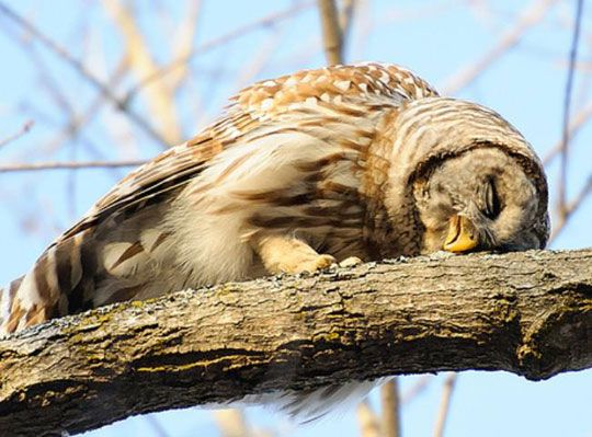 How owls sleep ~ Rare but yes, Owls do lie down to sleep.