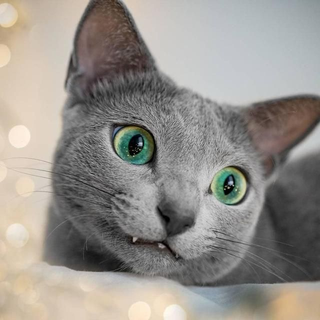 These Beautiful Russian Blue Cats Have The Most Mesmerizing Eyes