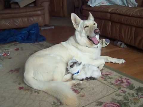 "German Shepherd Cuddles ""Her"" Baby Goat! My heart is now a puddle... She looks sooooo happy!"