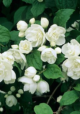 Philadelphus 'Virginal' Mock orange /  Philadelphus x virginalis 'Virginal' has attractive, white, double flowers with an outstanding fragrance in the late spring to early summer season
