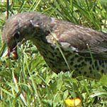 Grote lijster – Turdus viscivorus – Mistle Thrush – de Vogeldagboeken van Adri de Groot
