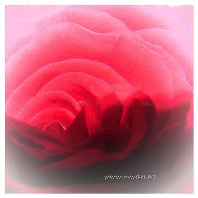 Rosenblüte,  Rosa (c) MW Art Marion Waschk, Fotografie, zart, Blüte,  blume,  Blütenblätter,  Pflanze, Natur, Gartenpflanze,  rosen züchten,  Geschenk, Poster, Kunstdruck, beliebte Künstler, Homedecor,  Wandbilder,  Love, Liebe,