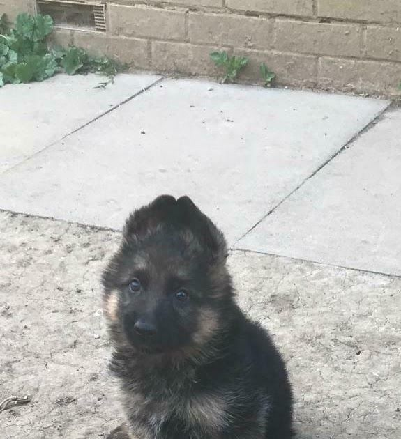 German Shepherd Puppy Shorthair For Sale In Luton Bedfordshire Gumtree German Shepherds Of Hawaii Home Facebo German Shepherd Puppies Shepherd Puppies Puppies
