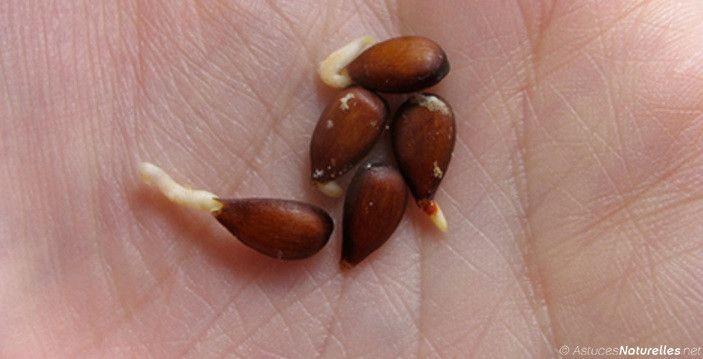Beaucoup de gens peuvent trouver bizarre que certains aiment manger des graines de pomme, des fosses de cerise, ou des graines d'abricot, car semble-t-il,