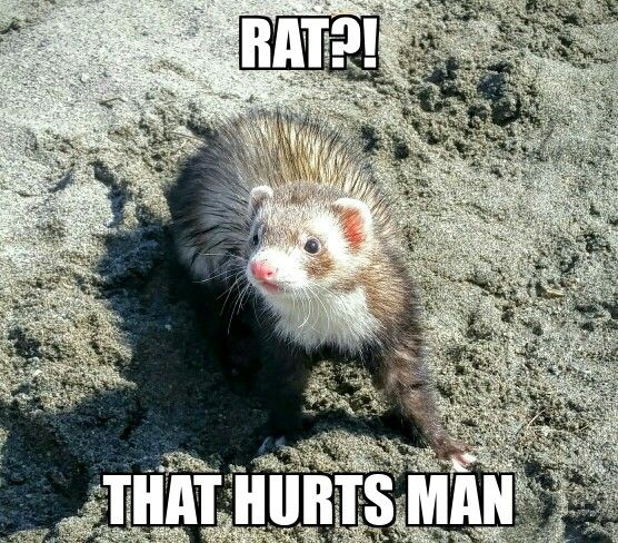 pin ferret meme on - photo #4