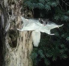 Meillä on kunnia ihailla pihallamme myös liito-oravan touhuja mökillämme Joroisilla