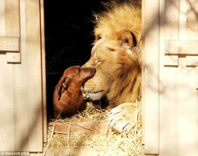 A lion and a miniature sausage dog have formed an unlikely friendship after the little dog took the king of the jungle under his wing as a cub. Bonedigger, a five-year old male lion, and Milo, a seven-year old Dachshund, are so close that Milo helps the lion clean his teeth after dinner. The 500lbs lion dwarfs little Milo, yet after the dog took the disabled lion into his protection as a cub, Bonedigger has rarely left his side