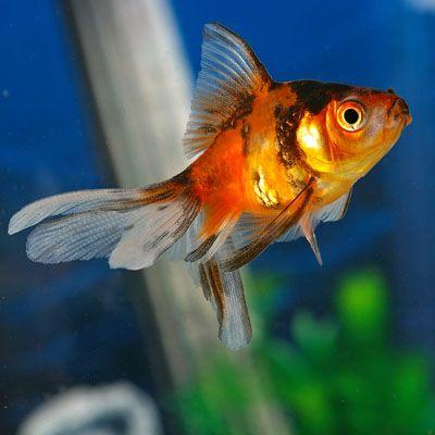 Calico Ryukin Goldfish | Carassius auratus for Sale | PetSolutions