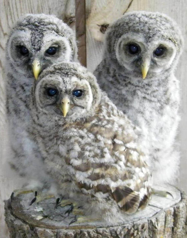 Three sweet orphaned owlets being cared for by Eagle Valley Raptor Center in Cheney, Kansas - Owlets