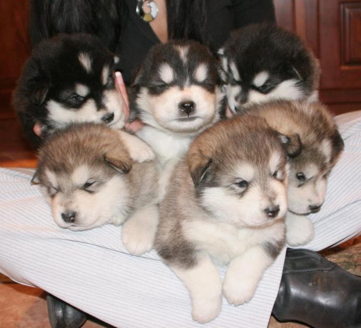 Cool Alaskan Malamute Chubby Adorable Dog - 518f2b4c145bf52738fc9e2826f2ac38--alaskan-malamute-puppies-malamute-dog  Snapshot_595755  .jpg