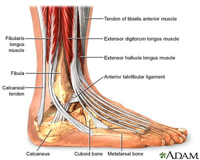 Anatomy of the ankle selol ink anatomy ccuart Image collections