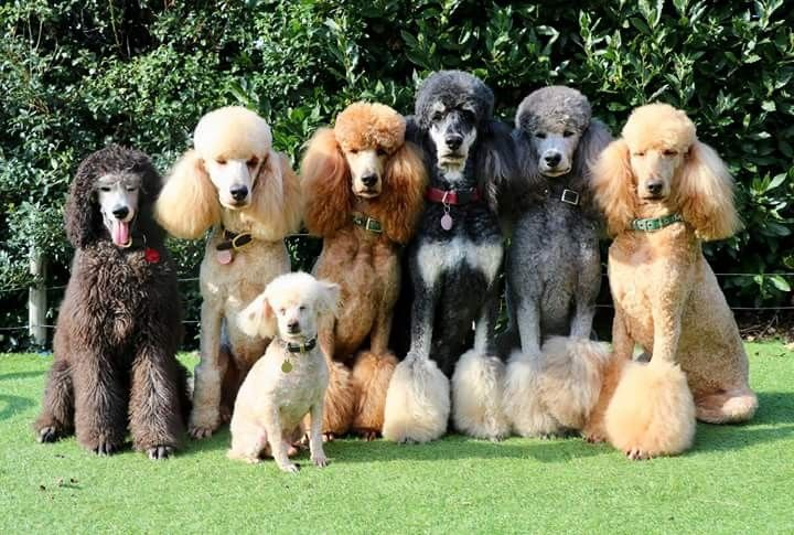 Jane Rowden S Pack Athletic Dogs Cute Animals Standard Poodle