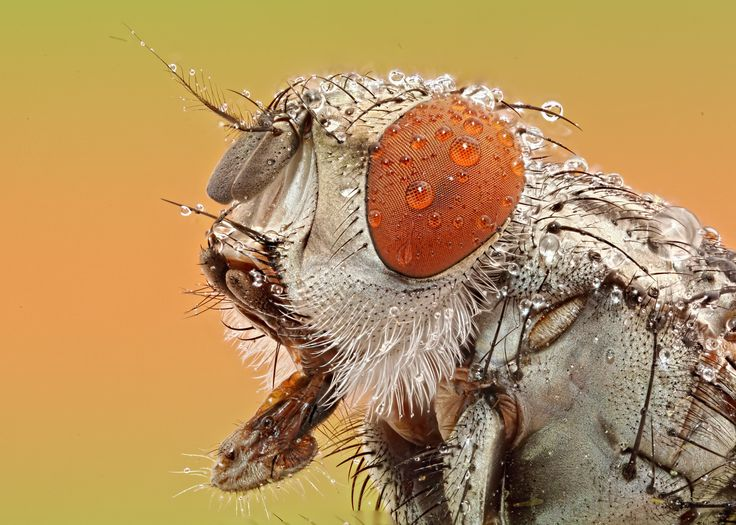 Red eye fly by extrememacrography on 500px