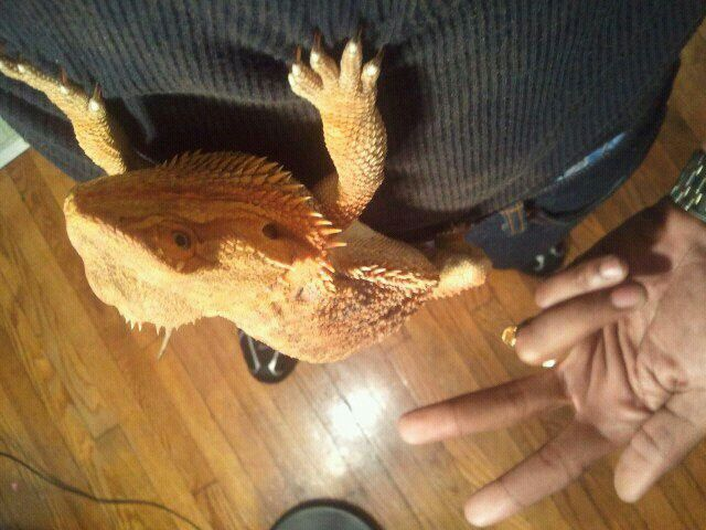 PYRO THE GERMAN GIANT BEARDED DRAGON: HANGING WITH MY BIG LITTLE HOMIE!!!