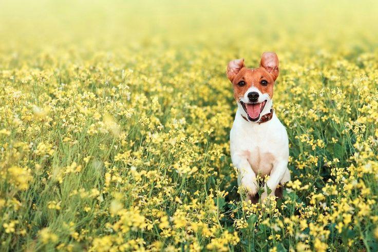 """Джек-Рассел терьер (фото) - жизнерадостная порода собаки из фильма """"Маска""""  Смотри больше http://kot-pes.com/dzhek-rassel-terer-foto-zhizneradostnaya-poroda-sobaki-iz-filma-maska/"""