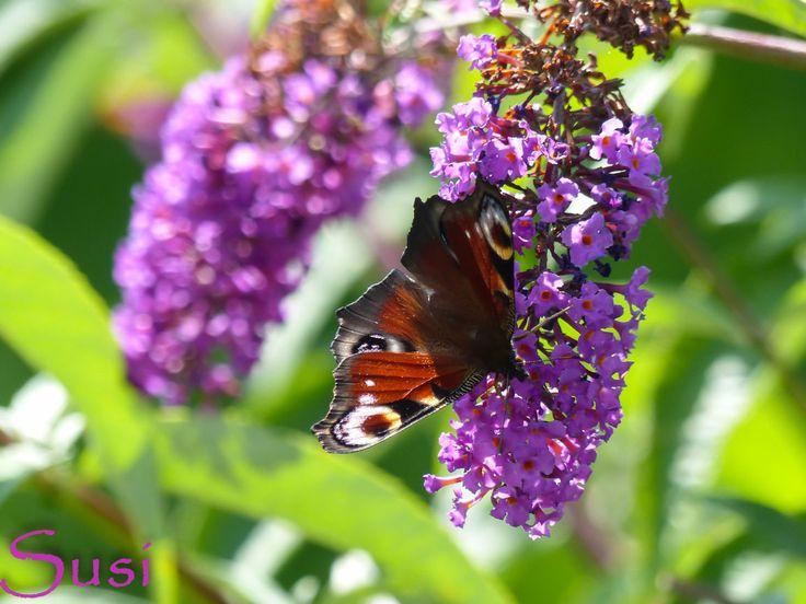 Tagpfauenauge ( peacock butterfly ) so schön bunt, da kann man nicht anders