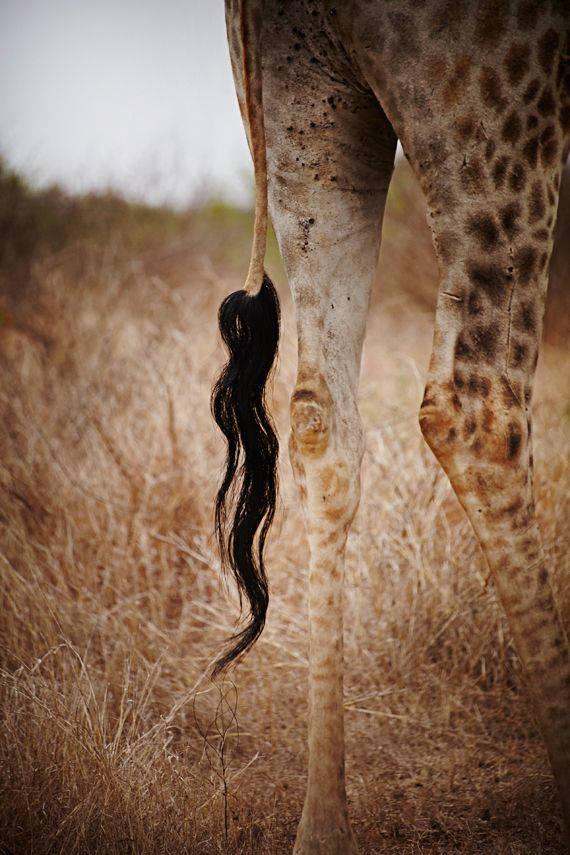 Giraffe's Tail @ Kruger National Park, South Africa