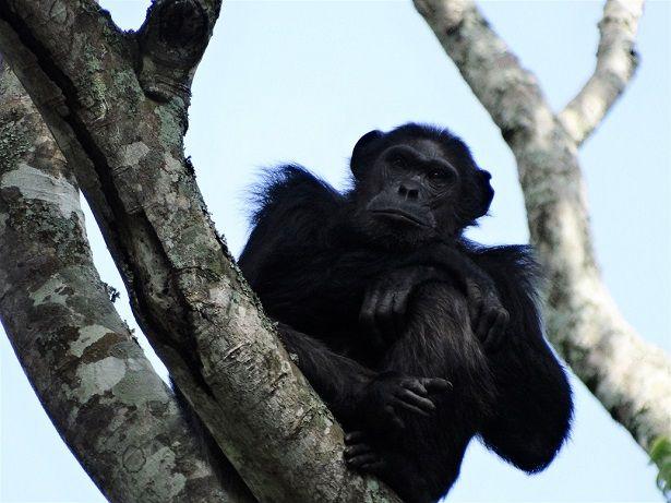 Chimpanzee seen on a trek in Rwanda's Nyungwe National Park