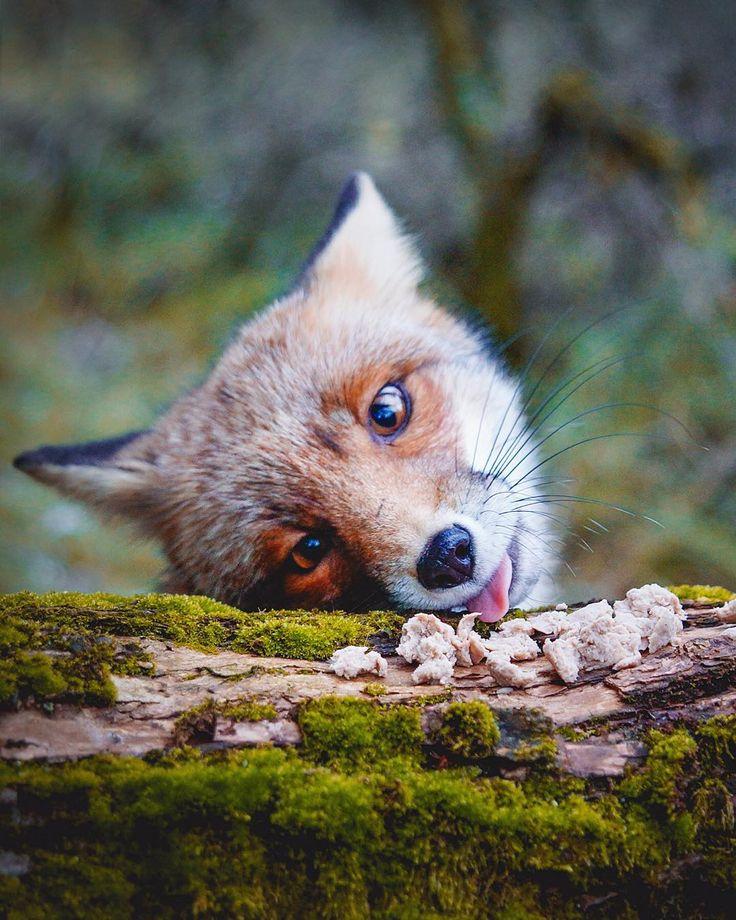 Red Fox by Konsta Punkka