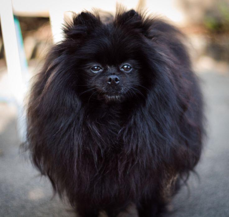 Black Pomeranian - Black Miniature Pomeranian Dog