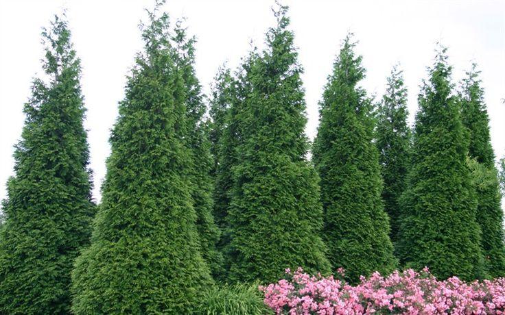 Green Giant Arborvitae - Thuja standishii x plicata 'Green Giant'
