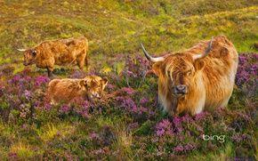 Обои корова, Шотландия, вереск, теленок, остров Скай