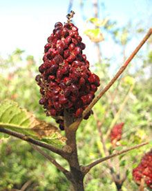 What is sumac? Substitute, recipes and tips for cooking with sumac spice. Health benefits of ground sumac berries.
