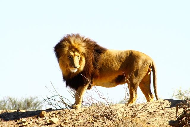 Male lion at Inverdoorn