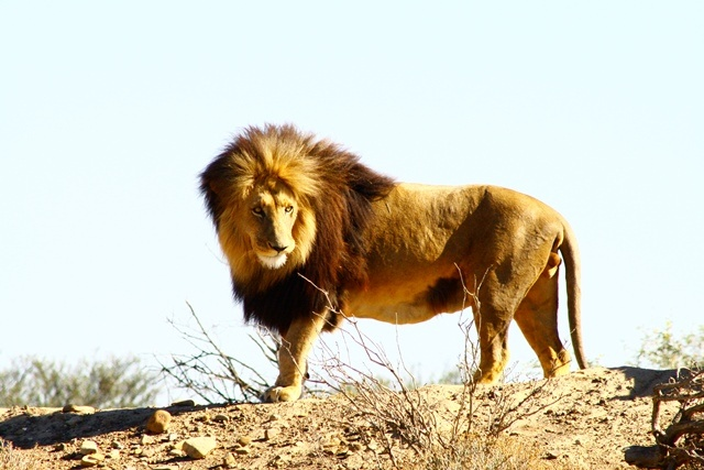 Male lion at Inverdoorn