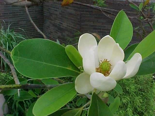 Magnolia virginiana var. australis (Evergreen Sweetbay Magnolia) Height: 20-30 feet. Spread: similar. Notes: excellent garden plant, lemon-scented flowers, any reasonable soil.