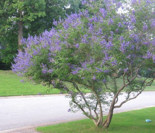 Best 25 small trees ideas on pinterest flowering trees for Ornamental trees for small gardens