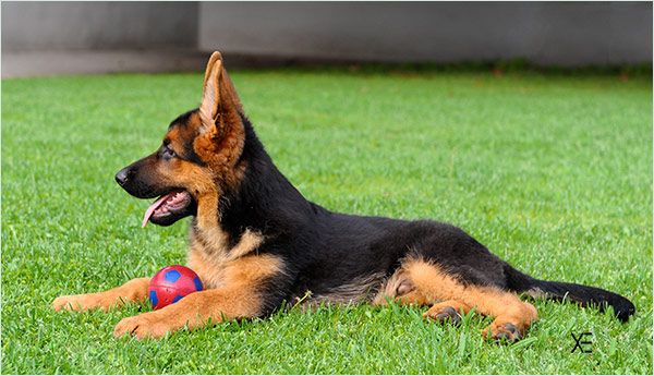 Cachorros Pastor Aleman - Criadores pastor aleman