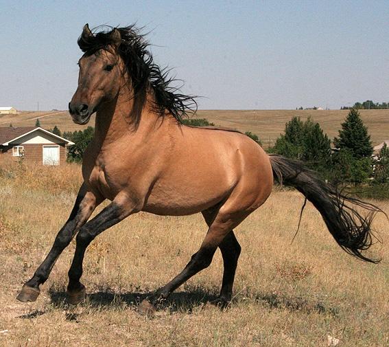 les 52 meilleures images du tableau spanish mustangs sur pinterest chevaux beaux chevaux et. Black Bedroom Furniture Sets. Home Design Ideas