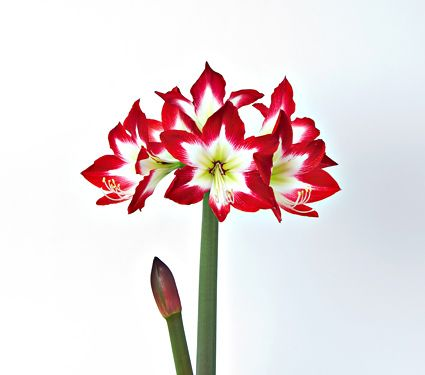 Amaryllis Tres Chic, bulb only - White Flower Farm