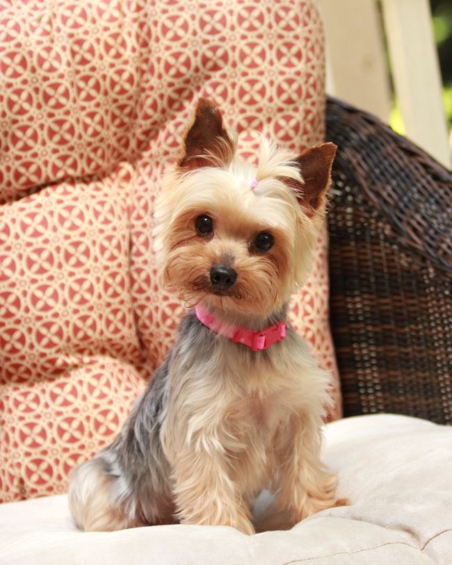 "Mini Yorkie ""Pebbles"" ~ Kristin Michelle Photography 2013"