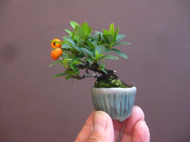 盆栽:寒さの中、杜松の植え替え の画像 春嘉の盆栽工房