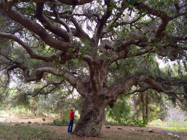 Majestic Oak Tree At Rancho Santa Ana Botanic Garden In