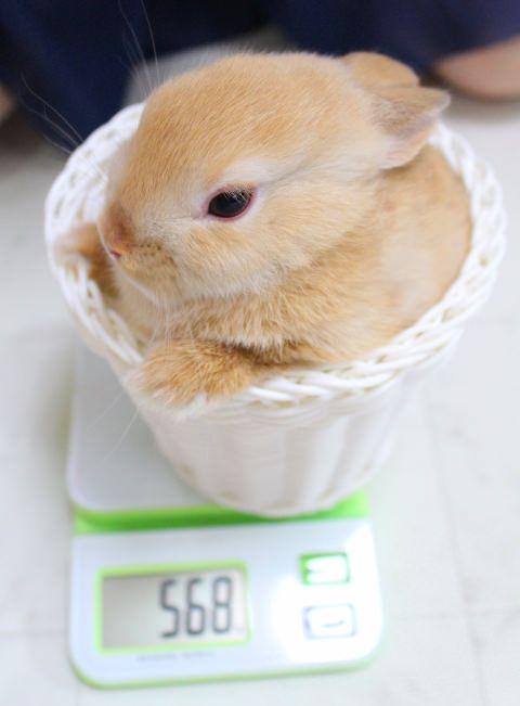 体重なんと568グラム♡ネザーランド・ドワーフの画像