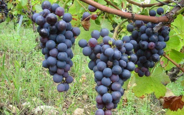 Piccolo Mondo : Negroamaro - i grandi vini italiani