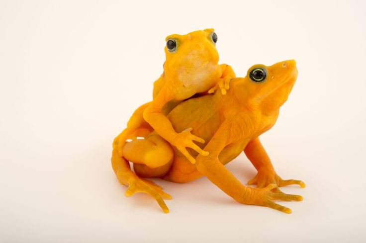 Picture of panamian golden frogs
