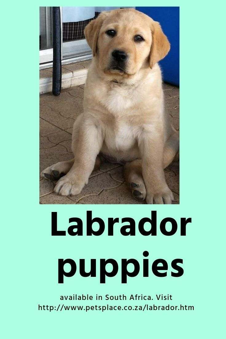 Labrador Puppies For Sale In South Africa Labrador Labrador Puppies For Sale Labrador Puppy