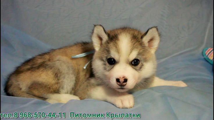 Симпатичный щенок сибирской хаски