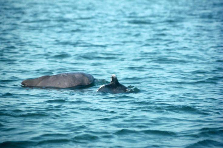 https://flic.kr/p/FNdvBZ | Indian dolphins | Dolphins off the coast of Goa