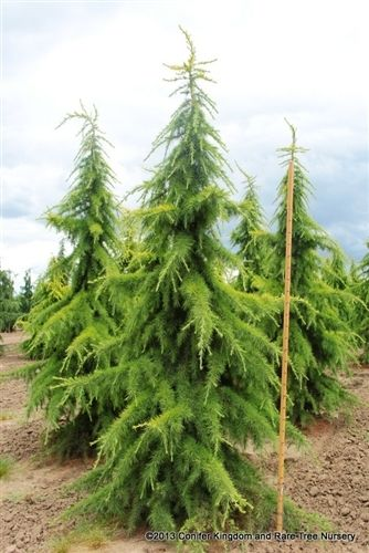 Cedrus deodara 'Aurea' - Conifer Kingdom